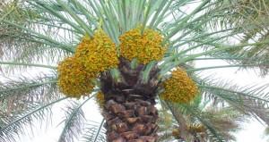 (9) ريالات عمانية قيمة طناء نخلة النغال بنـزوى