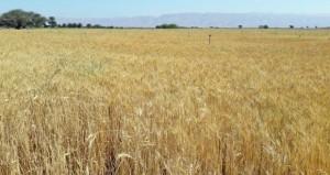 (23) طنا إجمالي حصاد محصول القمح بضنك