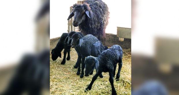 ولادة 5 توائم للضأن المحلي بمحطة البحوث الحيوانية ببهلاء