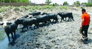 بعد الزراعة.. الحيوانات ضحية الجفاف في جنوب العراق