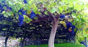 طناء محصول العنب بوادي مستل في نخل