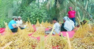التبسيل حرفة عمانية يحرص المزارع العماني على مزاولتها