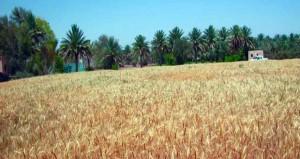 تطبيق أساليب التقنية الحيوية وإدخال أنظمة الري الحديثة يحقق نقلة نوعية في زراعة محصول القمح
