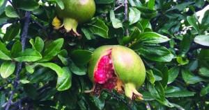 """دراسة لـ """"الزراعة"""" تكتشف طفيلا يحد أضرار فراشة الرمان"""