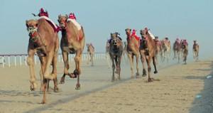 ختام المحطة الثانية من المهرجان السنوي لسباقات الهجن الأهلية بولاية المضيبي