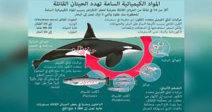 مواد كيمائية محظورة هي السبب في تراجع أعداد الحيتان القاتلة في استراليا