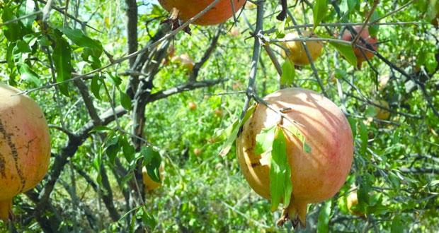طناء محصول الرمان بوادي مستل