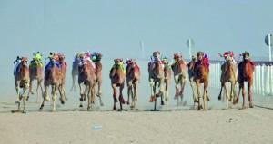 ختام منافسات سباق الهجن بمحافظة الوسطى