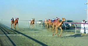 ديسمبر القادم الاتحاد العماني لسباقات الهجن ينظم السباق العام للهجن بولاية صحم