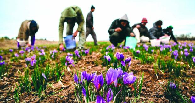 إيران تنتج أكثر من 350 طناً من الزعفران ويصل سعر الكيلو الواحد أكثر من 1000دولار