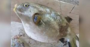 إصابة 6 حالات بالتسمم نتيجة تناولهم سمك (البقم) السام