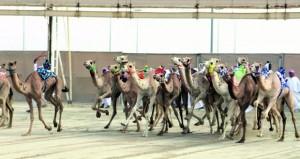 اليوم .. انطلاق منافسات مهرجان (المؤسس) بميدان الشحانية بدولة قطر بمشاركة الهجن العمانية