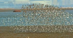 الطيور المهاجرة تتجمع في خليج جوزوا بتشينغداو في الصين د ب ا