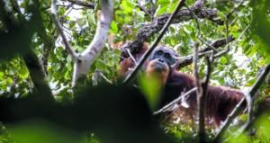 تحذيرات من تعرض إنسان الغاب الإندونيسي للخطر بسبب بناء سد بتمويل الصين