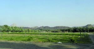 دراسة علمية حول زراعة البرسيم تحت ظروف التملح في السلطنة