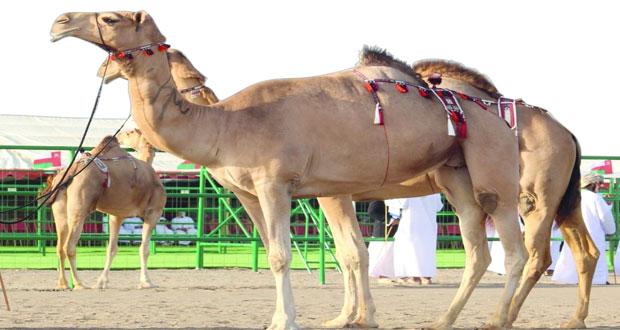 انطلاق منافسات مهرجان المزاينة السنوي للاتحاد العماني لسباقات الهجن بميدان طوي الشاوي بالمصنعة