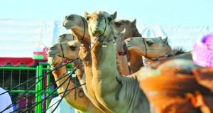 اليوم .. إسدال الستار على فعاليات مهرجان المزاينة السنوي بتنيظم من الاتحاد العماني للهجن