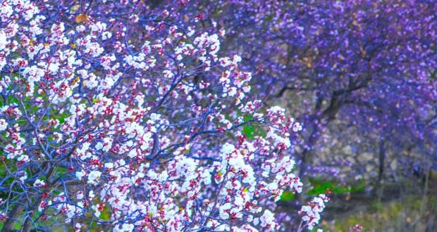 تفتح أزهار المشمش ببلدة وكان يضفي على القرية زهو الربيع
