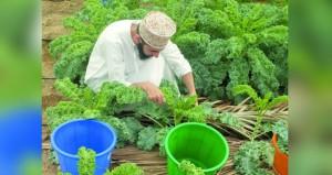 """زراعة نبات """"الكيل"""" العضوي في جامعة السلطان قابوس"""