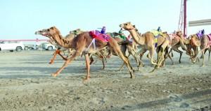 اليوم.. انطلاق أول أيام السباق الختامي لكأس جلالة السلطان المعظم لسباقات الهجن