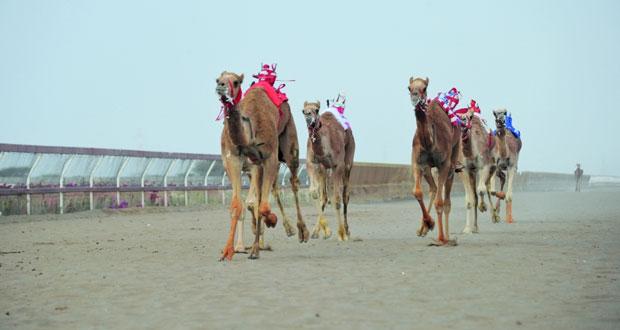13 انطلاق السباق الختامي لكأس جلالة السلطان المعظم لسباقات الهجن بمضمار الفليج ببركاء