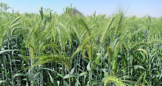 مدير دائرة الزراعة بنـزوى لـ(الوطن الاقتصادي): 85 طنا إنتاج نزوى المتوقع من محصول القمح هذا العام