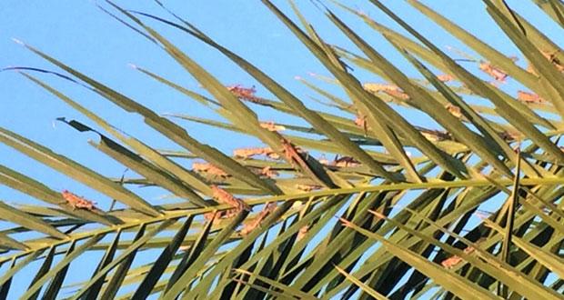 """""""الزراعة والثروة السمكية"""" تتخذ إجراءات للحد من انتشار الجراد الصحراوي وتحذر من تناوله رصد بؤر في ثمريت وصور ومنح وقريات وإبراء"""
