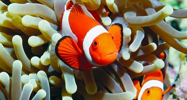 التلوث الضوئي يهدد تكاثر سمكة المهرج