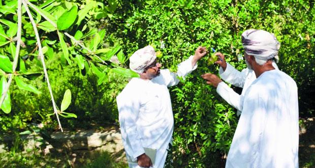 مشروع مكافحة فراشة ثمار الرمان بالجبل الأخضر يستهدف 27 ألف شجرة