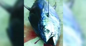 اصطياد سمكة تونة بوزن 100 كيلوجرام بقريات
