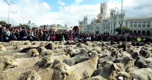 الأغنام تجوب مدريد لإحياء هجرة سنوية