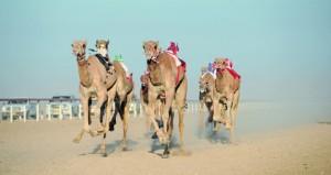 اليوم .. انطلاق المحطة الرابعة من مهرجان سباقات الهجن الأهلية على مضمار الأبيض بولاية المضيبي