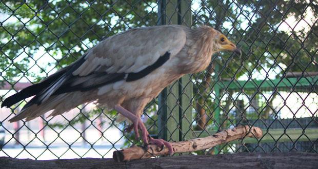 مركز توليد الحيوانات البرية العمانية يطلق النسر المصري بعد تأهيله