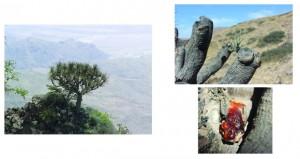 دراسة تقييم ميدانية لأشجار دم التنين العربية (العيريب) المستوطة بجبال ظفار