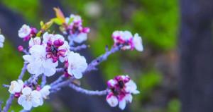 بدء موسم الزهور البيضاء بوادي مستل بولاية نخل