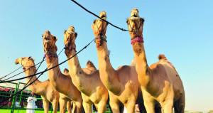 الاتحاد العماني لسباقات الهجن يستأنف نشاطاته وفعالياته بإقامة مزاينة الأبل السنوية بطوي الشاوي بالمصنعة