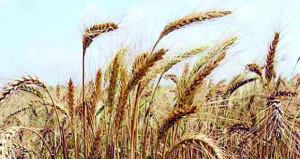 تواصل موسم حصاد القمح بولاية نخل