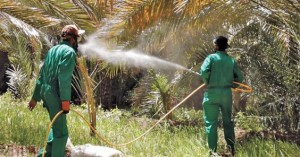 جهود لمكافحة حشرة دوباس النخيل بعبري