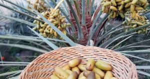 بدء تباشير موسم القيظ في عدد من قرى الرستاق