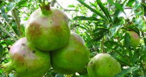 """""""الزراعة والثروة السمكية"""" تبدأ تنفيذ برنامج المكافحة الحيوية لفراشة الرمان في الجبل الأخضر"""