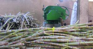أكثر من 47 فداناً المساحة المزروعة من قصب السكر في الداخلية تنتج أكثر من 51900 كيلوجرام من السكر الأحمر النقي