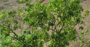 طناء أشجار الأمبا (المانجو) بقرية العلياء في العوابي