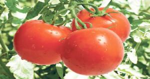 هل تتغير نكهة الطماطم عند وضعها فـي الثلاجة؟