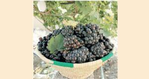 بدء موسم جني ثمار العنب بالرستاق