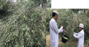 بدء حصاد الزيتون بـ«كهنات» فـي عبري