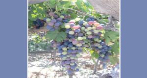 وادي مستل يبدأ قطاف العنب الأسود