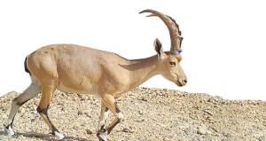 ينفذها مكتب حفظ البيئة .. دراسة حقلية حول انتشار وصون حيوان الوعل النوبي بمنطقة منخفض الحقف بالوسطى