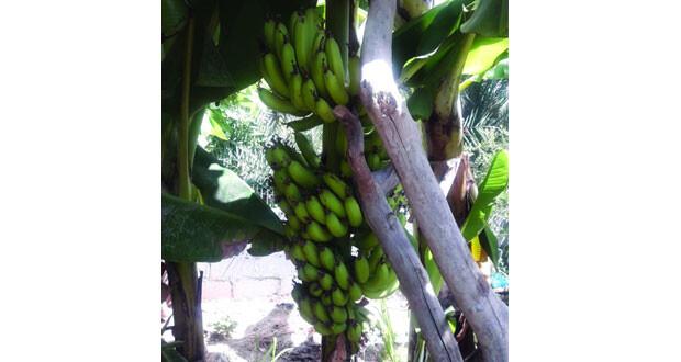أصناف متنوعة من الموز بعبري