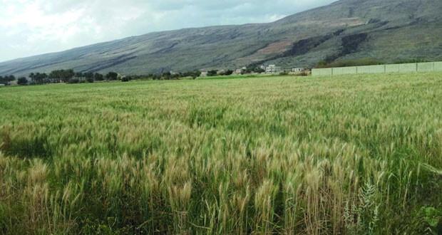القمح .. أمن غذائي وعائد اقتصادي