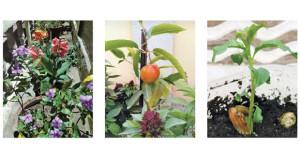 مع اعتدال درجات الحرارة .. الحدائق المنزلية والمزارع تتزين بألوان الورود والأشجار المثمرة
